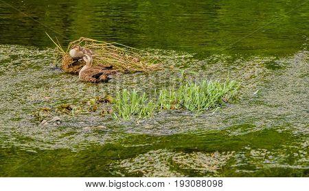 Two Spot-billed Ducks In River