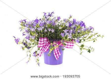 Purple bellflower with festive ribbon in pot isolated over white background