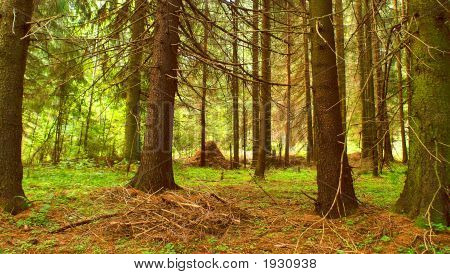 Morning In A Coniferous Wood.