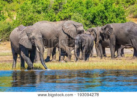 Watering in the Okavango Delta. Chobe National Park in Botswana. Herd of African elephants crossing river in shallow water. The concept of exotic tourism