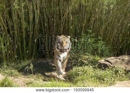 Bengal tiger walking toward camera with bamboo in background