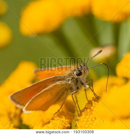Profile Macro of a European Skipper Butterfly drinking from a yellow tansy flower.