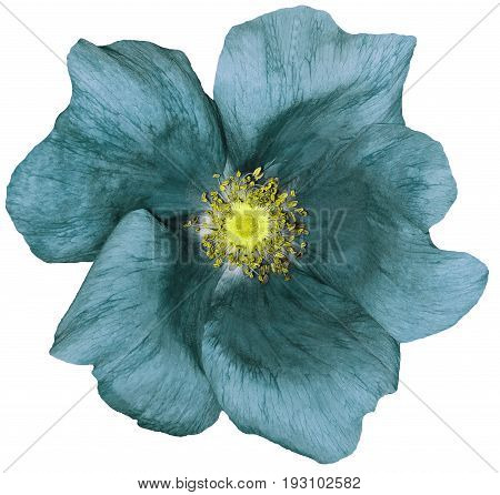 Flower turquoise on a white isolated background with clipping path. Nature. Closeup no shadows. Garden flower.