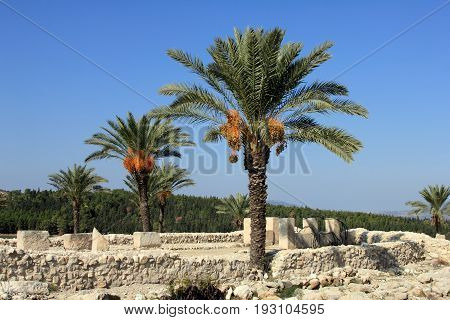 Date palms amid the ruins of Megiddo. Tel Megiddo National park, Israel