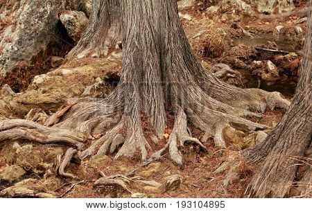 Mighty roots of a majestic old big tree