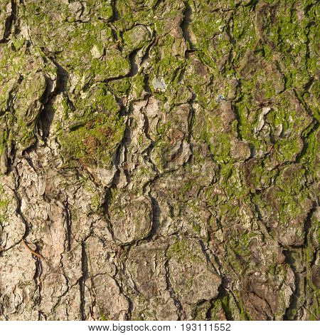 Bark of old fir tree. Natural textured background.