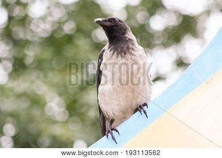 The Crow On The Playground Looks Away