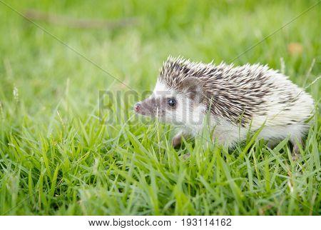Hedgehog in the green meadow African pygmy hedgehog