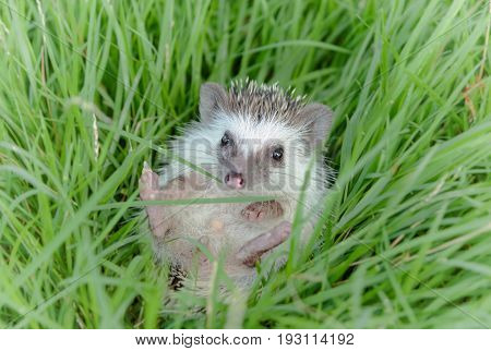 Hedgehog in the green grass African pygmy hedgehog
