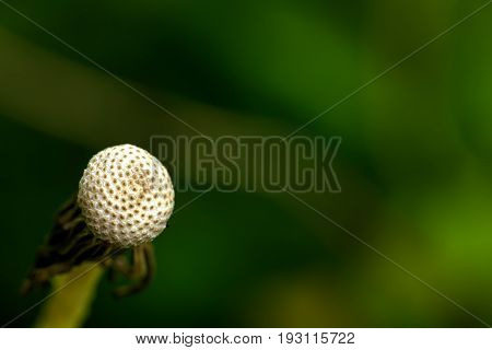 Dandelion. The blossoming blowball growing on a summer meadow.