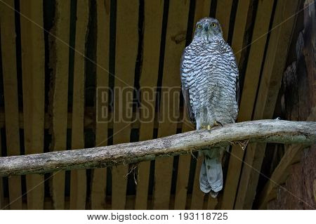 Adult male of Northern goshawk. Accipiter gentilis. Family hawks