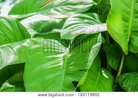 close up giant bright green tree leaves background