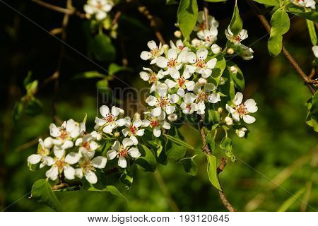 Beautiful White pear blossoms on a branch in spring