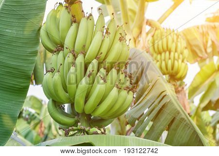 Banana bunch of raw and green leaf in banana plantations for health, food and agriculture concept design.