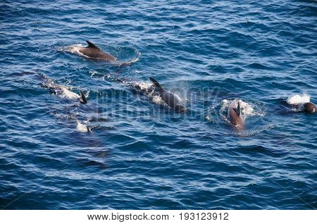 Encounter with long-finned pilot whales, enroute between the Ushuaia and the Falkland Islands.