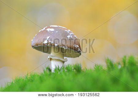Toadstool (Amanita pantherina) mushroom in the forest. Beautiful and poisonous mushroom amanita pantherina Toadstool (Amanita pantherina) mushroom in the forest. Beautiful and poisonous mushroom amanita pantherina