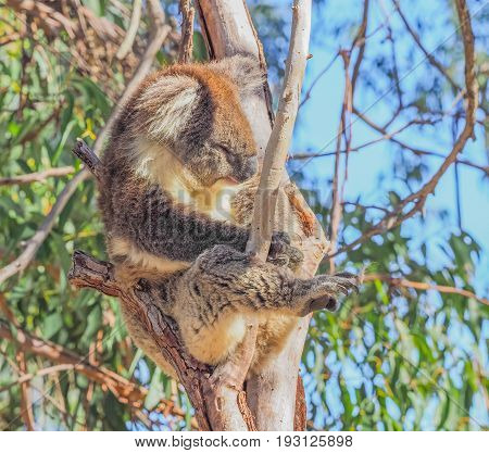 Koalas are found in the eucalyptus forests of eastern Australia. Although sometimes called koala bears, they are not bears but members of a group of pouched animals called marsupials.
