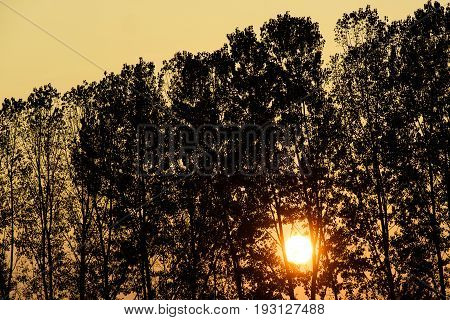 Silhouette trees in front of the sun very low at sunset in a yellow and orange light the golden hour