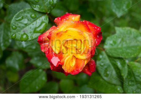 Yellow and red rose in rain drops