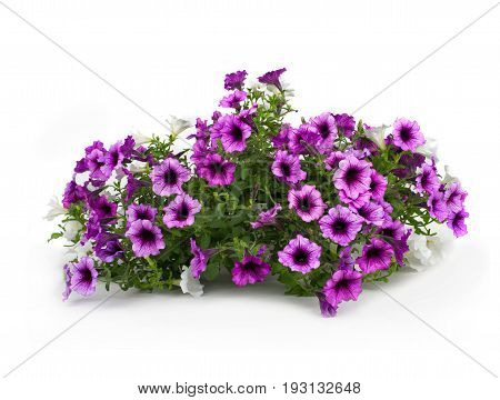flowering petunia in pot on white background.