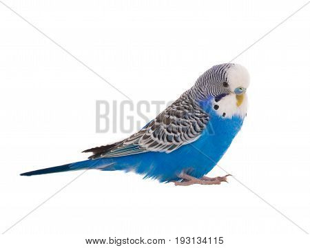 blue budgie isolated on a white background, studio shot