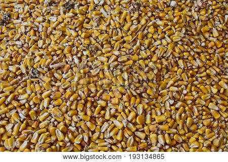 Corn grain used for animal feed at the farm.