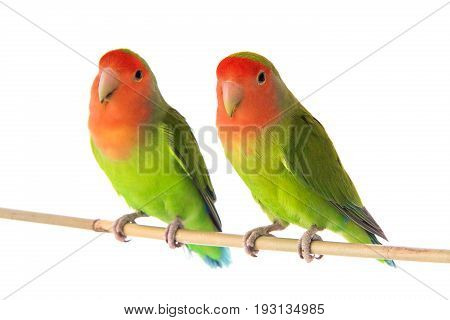 two lovebird isolated on a white background, studio shot