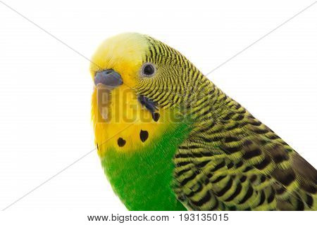 yellow budgie isolated on a white background, studio shot
