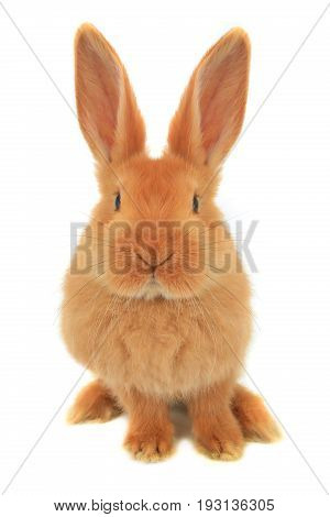 rabbit isolated on a white background, studio shot
