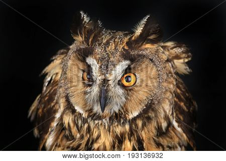 the owl portrait on a black background