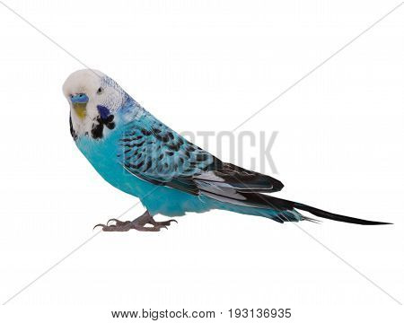 blue budgie isolated on a white background