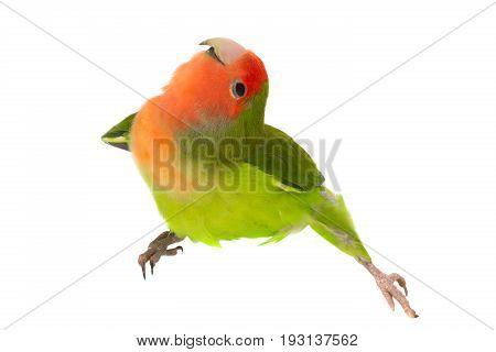 lovebird isolated on a white background , studio shot