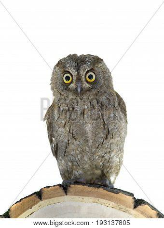 European scops owl on white background, studio shot