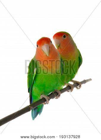 lovebirds isolated on a white background. studio shot