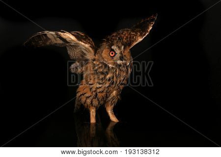 owl standing in water at night on black