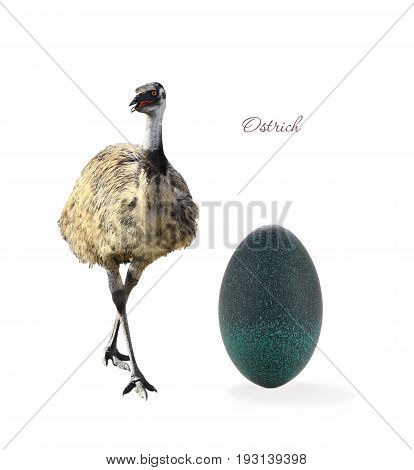 emu and egg emu isolated on white background.