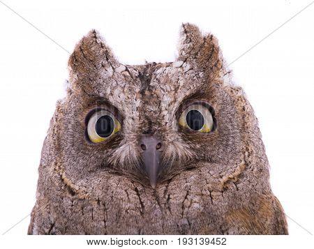 portrait European scops owl on white background