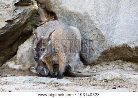 Female Of Kangaroo With Small Baby In Bag
