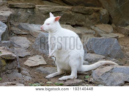 Grazing White Albino Kangaroo Red Necked Wallaby