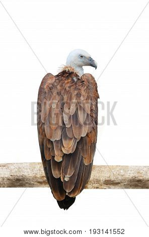 griffon vulture isolated on a white background, studio shot