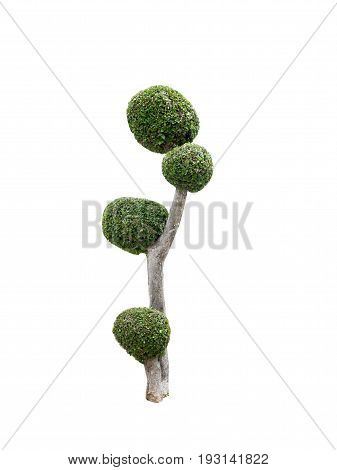 Topiary trees  with isolated white background and clipping path