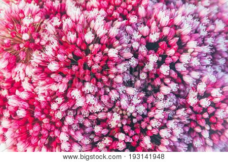 floral background of flowers of Allium shallow depth of field