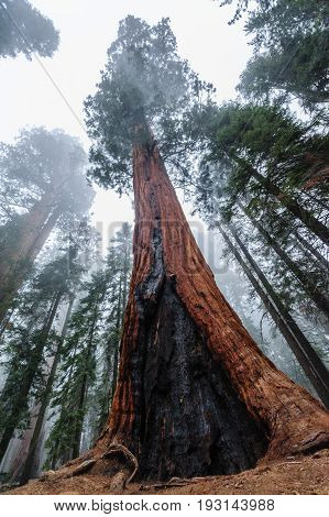 Giant Sequoia's in Sequoia National Park, California, USA.