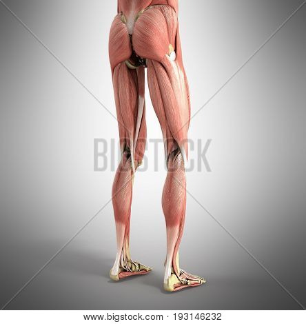 Medical Accurate Illustration Of The Leg Muscles 3D Render On Grey