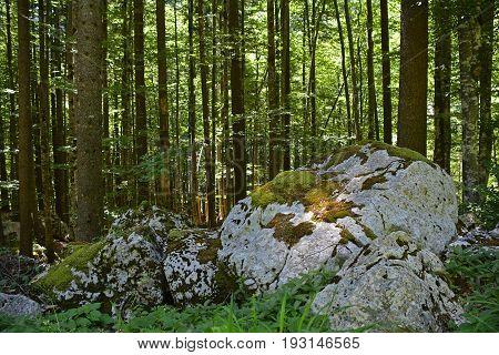 A shady alpine pine forest near Pontebba in Friuli Venezia Giulia north east Italy