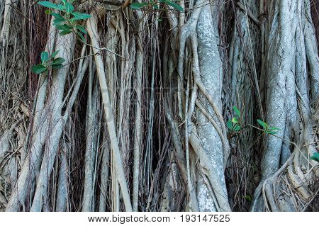 Tree roots growing on woody stem or trunk on natural background. Part of plant for anchoring absorbing and support. Flora and nature. Wildlife