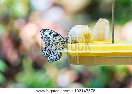 Cute Butterfly Sitting On Tray Feeder With Banana