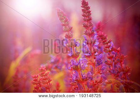 Lavender bushes closeup on sunset. Lavender field closeup.