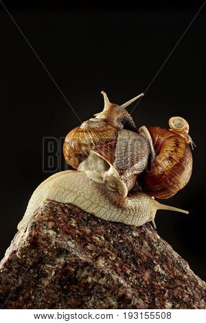 Brown snail on stone wall.Climbed on each other.Figure from snails.Big, medium and little snail