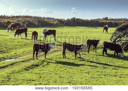 livestock cow in new zealand farm field